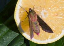 Бабочка ночи на оранжевом плодоовощ Стоковое Изображение RF
