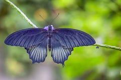 Бабочка общего розовая Стоковая Фотография RF