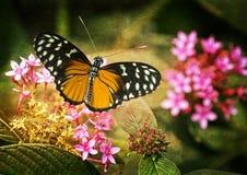 бабочка довольно Стоковые Изображения RF