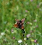 Бабочка огня Брайна на траве Стоковое Изображение RF