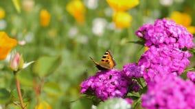 Бабочка опыляет розовый цветок на зеленой предпосылке сток-видео