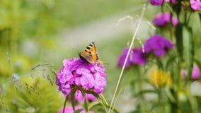 Бабочка опыляет розовый цветок на зеленой предпосылке акции видеоматериалы