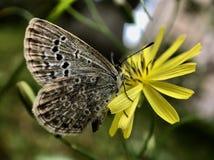 Бабочка отдыхая на цветке одуванчика стоковое изображение