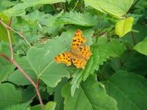Бабочка от Европы Стоковая Фотография