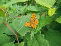 Бабочка от Европы Стоковые Фото