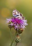 Бабочка отдыхая на фиолетовом цветке knapweed Стоковые Изображения RF