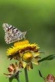 Бабочка отдыхая на цветке Стоковое Изображение