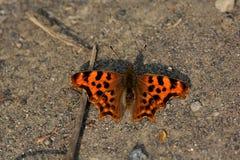 Бабочка от c-альбома Polygonia Тайваня Стоковое Фото