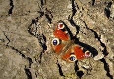 Бабочка павлина на коре елевого дерева в конце ноября стоковое фото