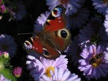 Бабочка павлина стоковые изображения