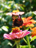 Бабочка павлина в саде Стоковое фото RF