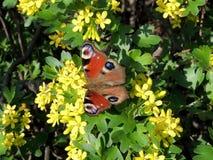 Бабочка павлина или европейский павлин стоковое изображение