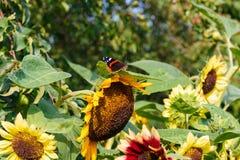 Бабочка павлина на цветке Стоковая Фотография