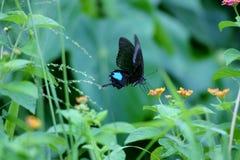 Бабочка павлина Парижа Стоковые Изображения RF