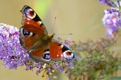 Бабочка павлина подает на фиолетовом цветке будлеи Стоковое Изображение RF