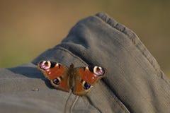 Бабочка павлина приземленная на фотограф куртки стоковые изображения