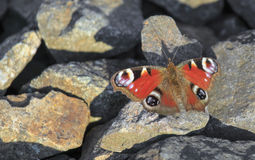Бабочка павлина сидя на утесах Стоковое Фото