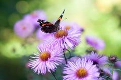 Бабочка павлина сидя на фиолетовом цветке Стоковое Изображение RF