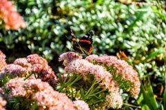 Бабочка павлина сидя на фиолетовом цветке Стоковая Фотография
