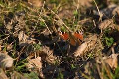 Бабочка павлина спрятанная в листьях стоковая фотография