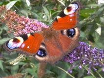 Бабочка павлина Стоковая Фотография RF