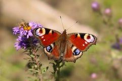 Бабочка павлина Стоковое фото RF