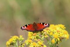 Бабочка павлина (aglais io) Стоковое Изображение