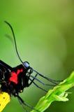 Бабочка, пирамиды из камней Birdwing (euphorion Ornithoptera Стоковые Фотографии RF