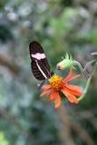 Бабочка почтальона на цветке стоковое фото rf