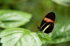Бабочка почтальона Стоковые Изображения RF