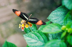 Бабочка почтальона (tomate melpomene Heliconius) Стоковое Изображение