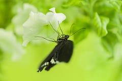 Бабочка подавая на белом цветке Стоковые Изображения RF