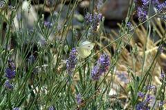 Бабочка подавая на голубых цветках Стоковое Изображение RF