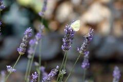 Бабочка подавая на голубых цветках Стоковое Изображение