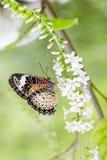 Бабочка подавая на цветках, цветках роя Стоковое Изображение RF