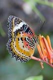 Бабочка подавая на цветках, цветках роя Стоковые Фотографии RF
