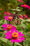 Бабочка подавая на цветке Zinnia Стоковые Фото