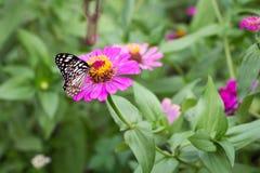 Бабочка подавая на цветке Zinnia Стоковые Изображения