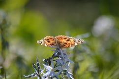 бабочка предпосылки красит неимоверно свои спички угождая отдыхать Стоковые Фото
