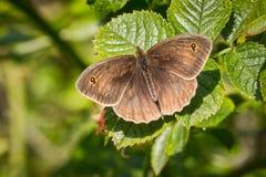 Бабочка привратника Стоковые Изображения RF