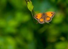 Бабочка привратника & x28; male& x29; & x28; tithorus& x29 pyronia; Стоковая Фотография