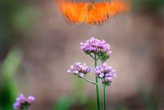 бабочка принимает Стоковая Фотография