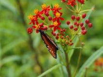 Бабочка принимая нектар Стоковые Фотографии RF