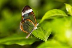 бабочка прозрачная Стоковые Изображения RF