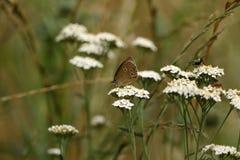 Бабочка птицы леса Брайна на цветке луга Стоковые Фотографии RF