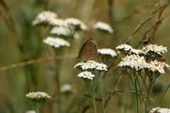 Бабочка птицы леса Брайна на цветке луга Стоковое фото RF