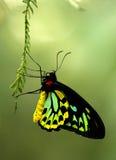 Бабочка Птиц-крыла пирамид из камней Стоковое Изображение RF