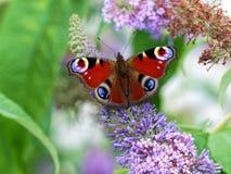 Бабочка раковины черепахи Стоковые Фото