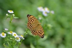 Бабочка раскрывает крыла Стоковые Фотографии RF