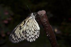 Бабочка рисовой бумаги на ветви Стоковая Фотография